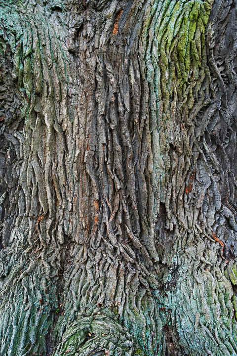 Old Oak Texture